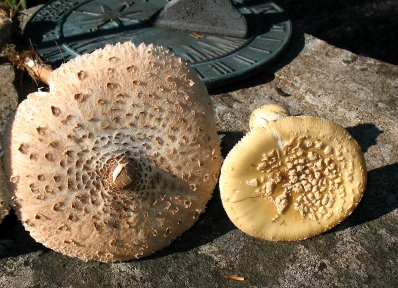 Parasol Mushroom (Macrolepiota procera) Mushroom-Collecting com