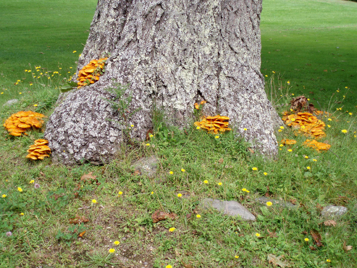 Why Do Mushrooms Grow Under Oak Trees : Jack o lantern grows in large bunches with the stems attached together